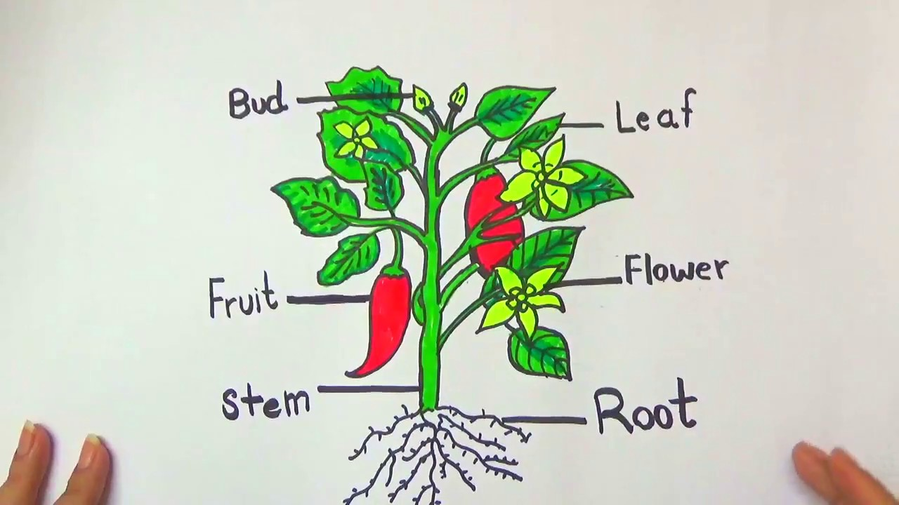 DRAW AND COLOR DIFFERENT PARTS OF A PLANT - YouTube