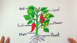 DRAW AND COLOR DIFFERENT PARTS OF A PLANT