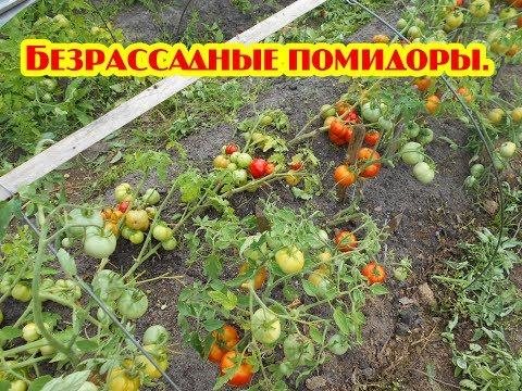 Безрассадные помидоры Выращивание.