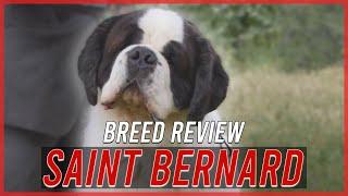 SAINT BERNARD BREED REVIEW