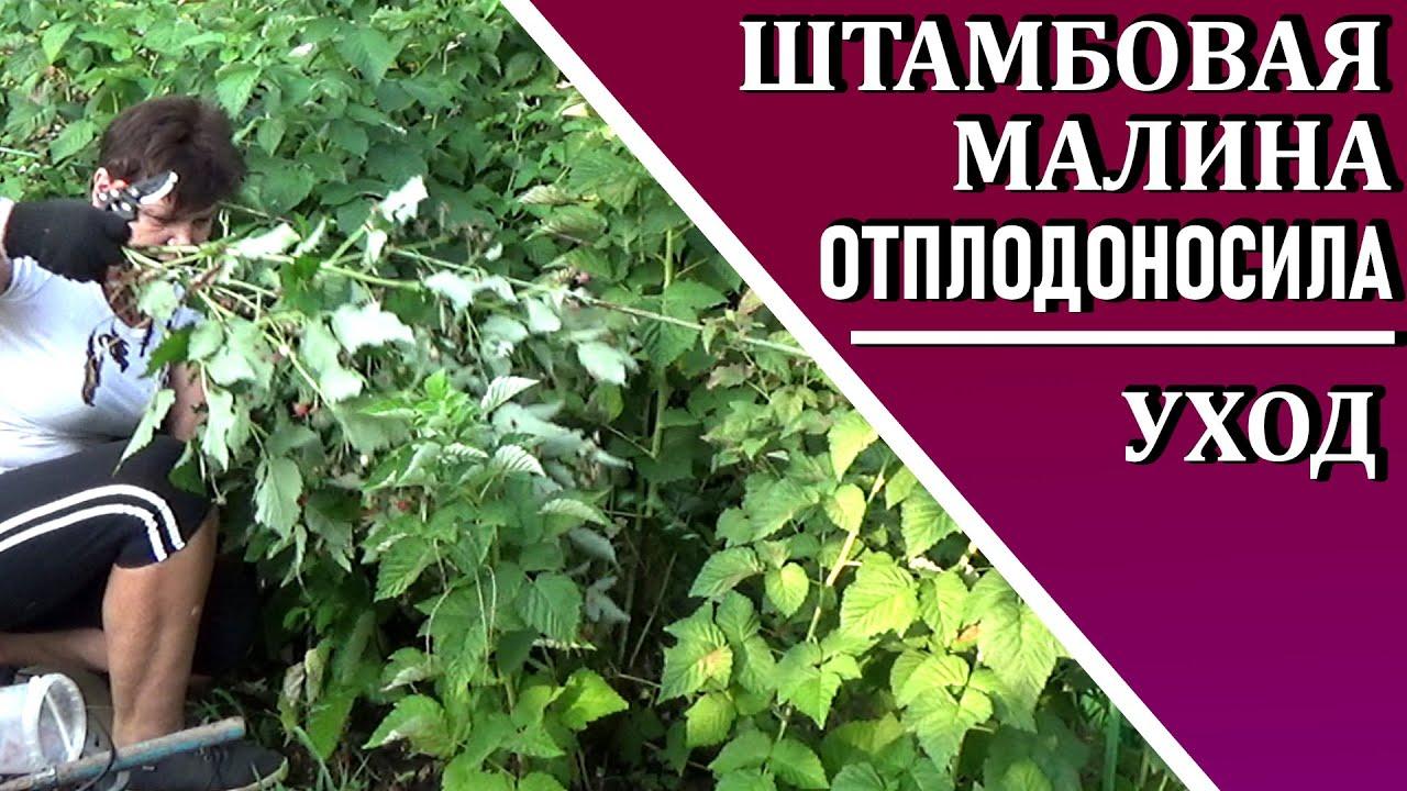 Штамбовая малина  после сбора урожая Как обрезать Чем подкормить штамбовую малину