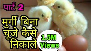 मुर्गी बगैर अंडे से चूजे कैसे निकाले ! How do eggs grow?