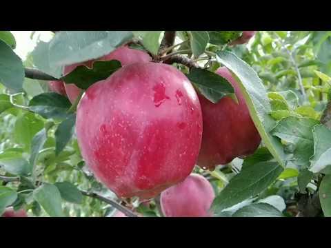 яблоня Ред Чиф