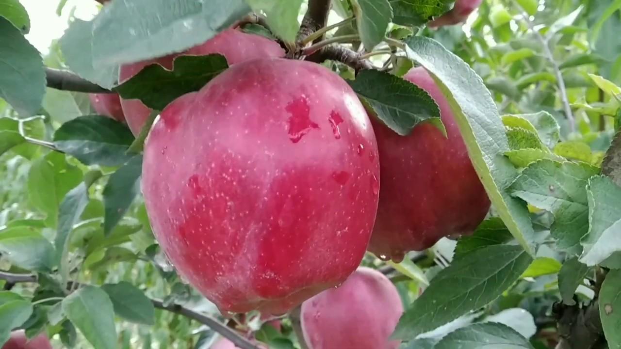 фото атрибут яблоня ред чиф описание фото сделать