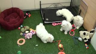Little Rascals Uk Breeders New Litter Of Maltichon Pups - Puppies For Sale 2015