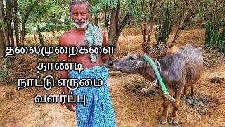 4 தலைமுறைகளை தான்டி நாட்டு எருமை வளர்ப்பு |Tamilnadu Native water Buffalo pinnavaasal village |