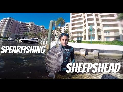 GoPro: Spearfishing Sheepshead