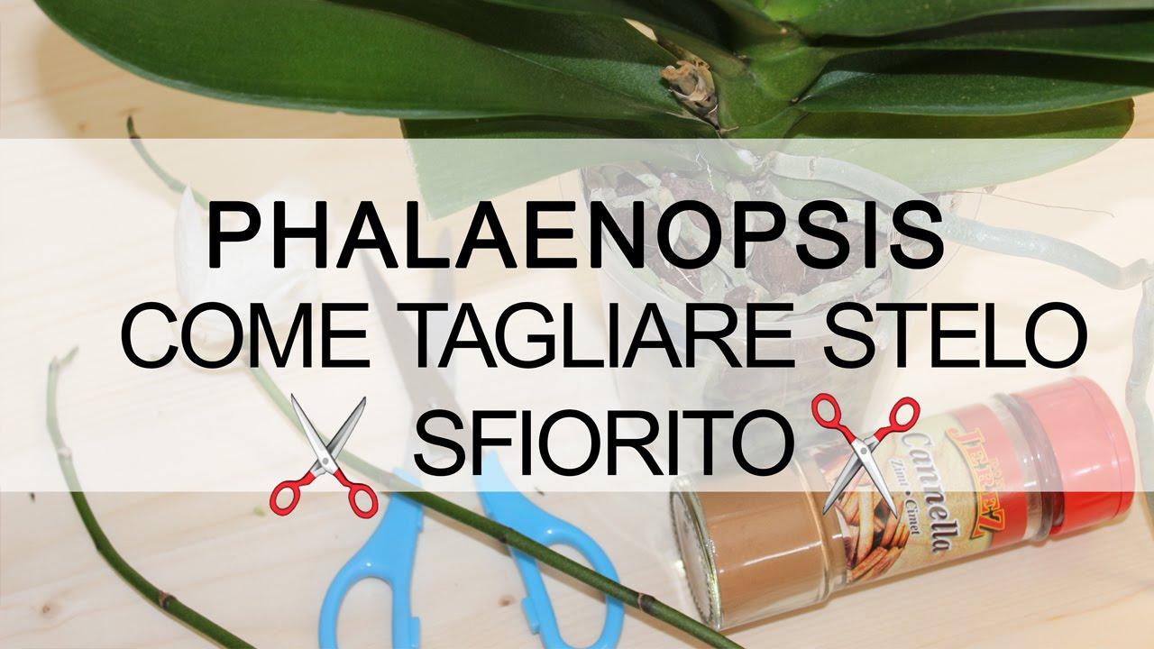 Download Orchidea Phalaenopsis - Come tagliare stelo sfiorito