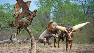 Hash Life Of Lion Leopard Hunting Buffalo Fail | Real Fight Wild Animal Attacks Caught On Camera