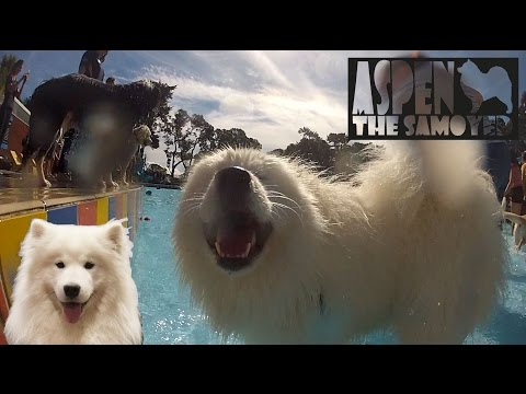 Aspen the Samoyed,   Dogs day at the pools