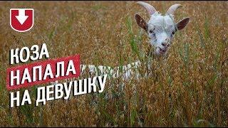 Нападение козы смогла остановить собака. Разъяренное копытное напало на девушку в Ирландии