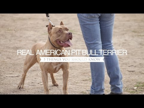 THE REAL AMERICAN PIT BULL TERRIER FIVE THINGS YOU SHOULD
