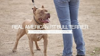 THE REAL AMERICAN PIT BULL TERRIER FIVE THINGS YOU SHOULD KNOW