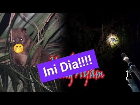 Berburu Musang Si Maling Ayam #STLT  HUNTING FERRET THE CHICKEN THIEF