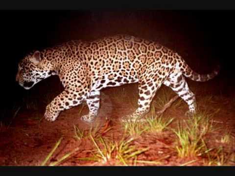 jaguar vs lion, jaguar is larger than male lion. facts. as always