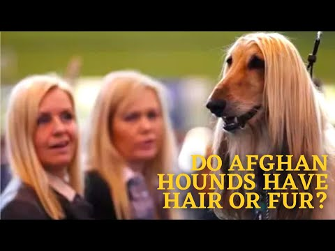 Do Afghan Hounds Have Hair or Fur?