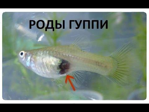 ГУППИ РОЖАЕТ роды аквариумных рыбок, роды живородящих рыбок
