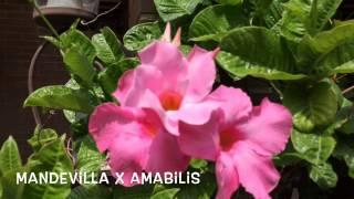 Mandevilla x amabilis. Garden Center online Costa Brava - Girona.(Mandevilla x amabilis. Garden Center online Costa Brava - Girona. Web: http://personalgardenshopper.es/, 2015-06-24T11:20:55.000Z)