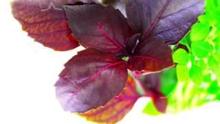 видео Чем полезен базилик и как его заготовить на зиму