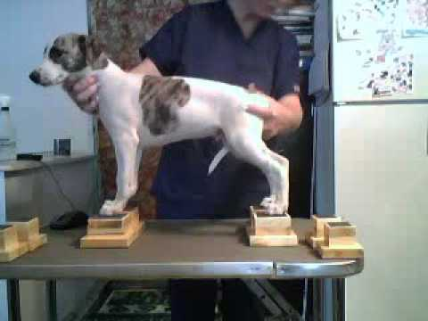 Whippet Puppy 1 On Neat Feet Show Dog Stacking Blocks Youtube