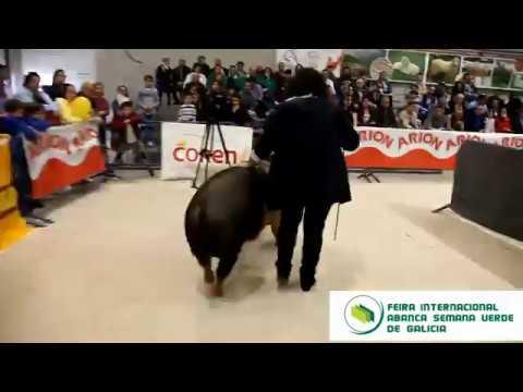 O I Concurso Nacional de Manexo de Porco Celta, todo un éxito en Silleda