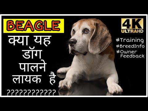 Dog Breeds- Beagle Dog Facts and Training in Hindi, क्या बीगल पालना ठीक रहेगा?? 4K