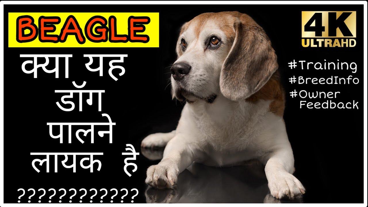Beagle nepraras svorio