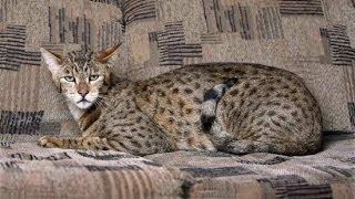 Ленивый кот Ашера Савнна