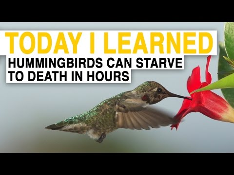 TIL: Hummingbirds Are the World's Hungriest Birds   Today I Learned