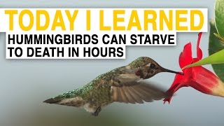 TIL: Hummingbirds Are the Worlds Hungriest Birds | Today I Learned