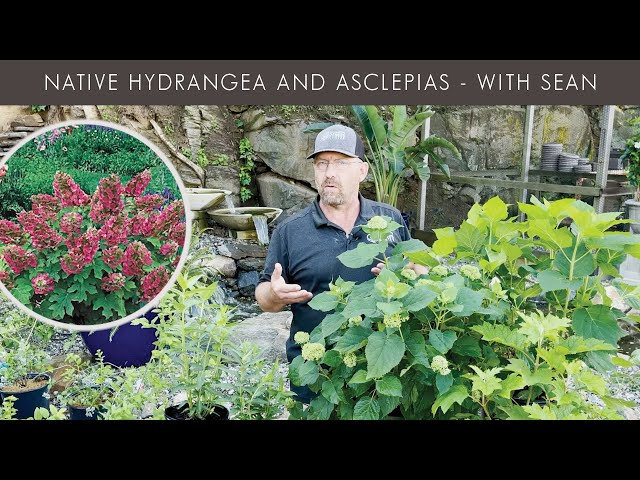 6/10/2021 Hydrangea and Asclepias with Sean