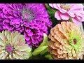 Pinching Zinnias For Bushy Plants And More Bloomsgrowing Zinnia Flowers