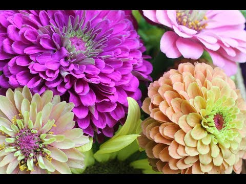 Pinching Zinnias For Bushy Plants And More Blooms-Growing Zinnia Flowers