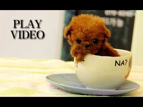 Amazing teacup poodle for sale!!