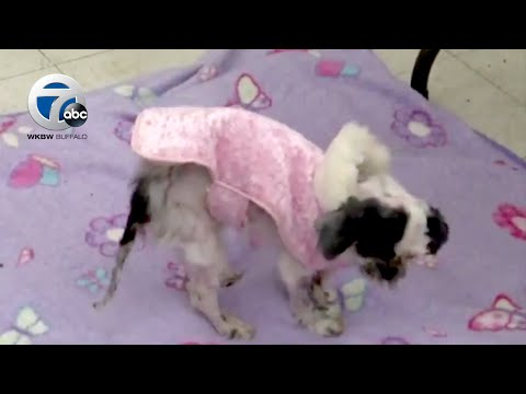 Dog Under Four Pounds Of Matted Hair, Rescued By SPCA