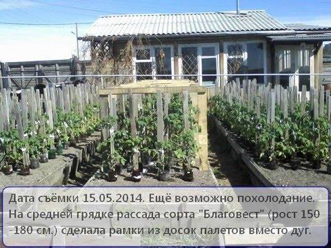Северный Урал. Выращивание рассады помидор для высадки её в открытый грунт.