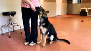 Training Your Dog To Heel - Pup Heeling On Lead