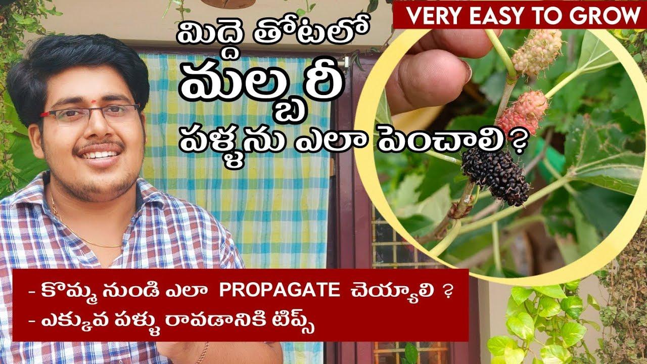 How to grow mulberries easily  at home || Propagating || కొమ్మ నుండి మల్బరీ మొక్క ఎలా పెంచాలి?