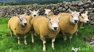 Chartex and Texel rams