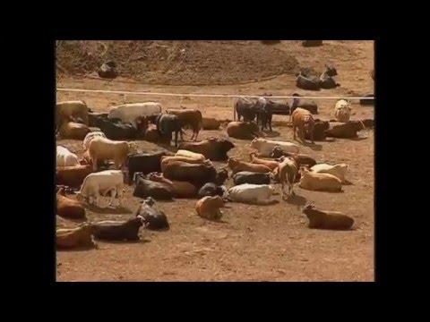 Globo Rural - Confinamento de gado no Kansas,Estados Unidos