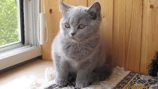 Британский котик Jazmin Silvery Snow