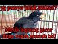 Suara Jalak Kebo Mewah Yg Diam Akan Gacor Dlm Wktu Skejap  Mp3 - Mp4 Download