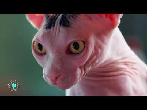 Depuis Quand : les chats sans poils – CANAL+
