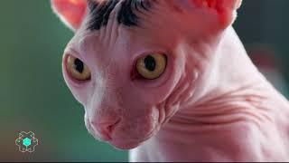 Depuis Quand : les chats sans poils – CANAL+ thumbnail