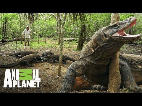 Dragones de Komodo pelean por la misma presa | Wild Frank: En busca del dragón | Animal Planet