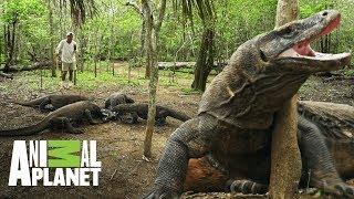 Dragones de Komodo pelean por la misma presa Wild Frank En busca del dragon Animal Plane ...