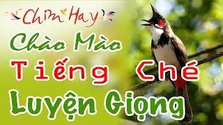 CHIM HAY |  Tiếng Ché cho Chào Mào Luyện Giọng