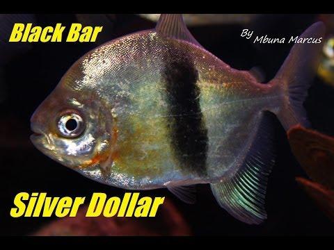 Silver Dollar Fish - Wide Black Bar
