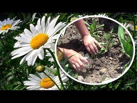 Ромашка садовая Уход весной Чем подкормить ромашку для быстрого роста