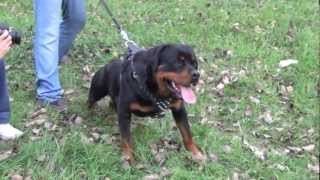 Best Harness For Rottweiler Training